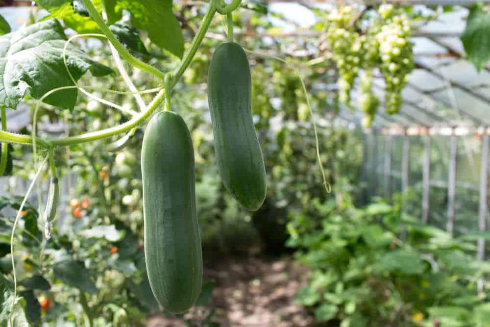 5 voordelen van komkommer